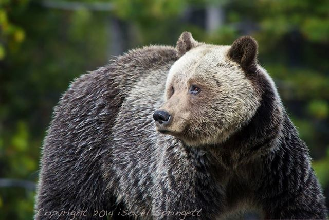 Female Grizzly Bear living near Lake Louise